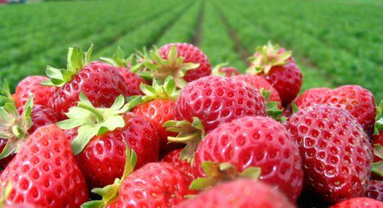Rudd Strawberry Farm